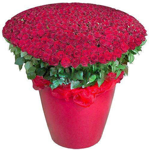 картинка 301 красная роза в большом вазоне