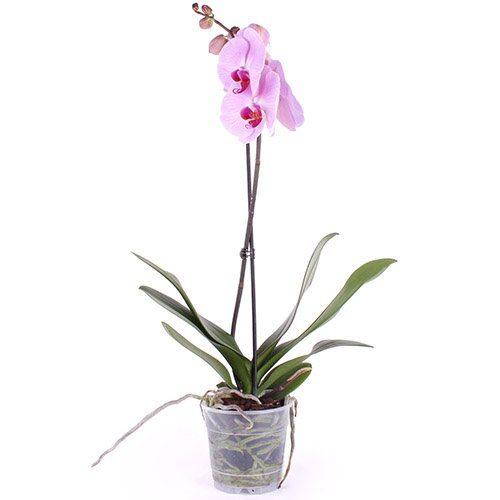 Фото товара Орхидея в Житомире